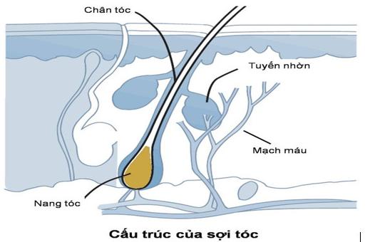 Cấu trúc của sợi tóc