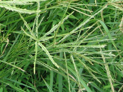 Cách trị nấm da đầu nhờ cỏ mần trầu